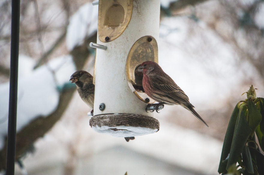 Backyard birds in winter