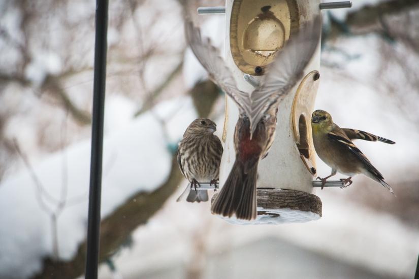winterbirds_047
